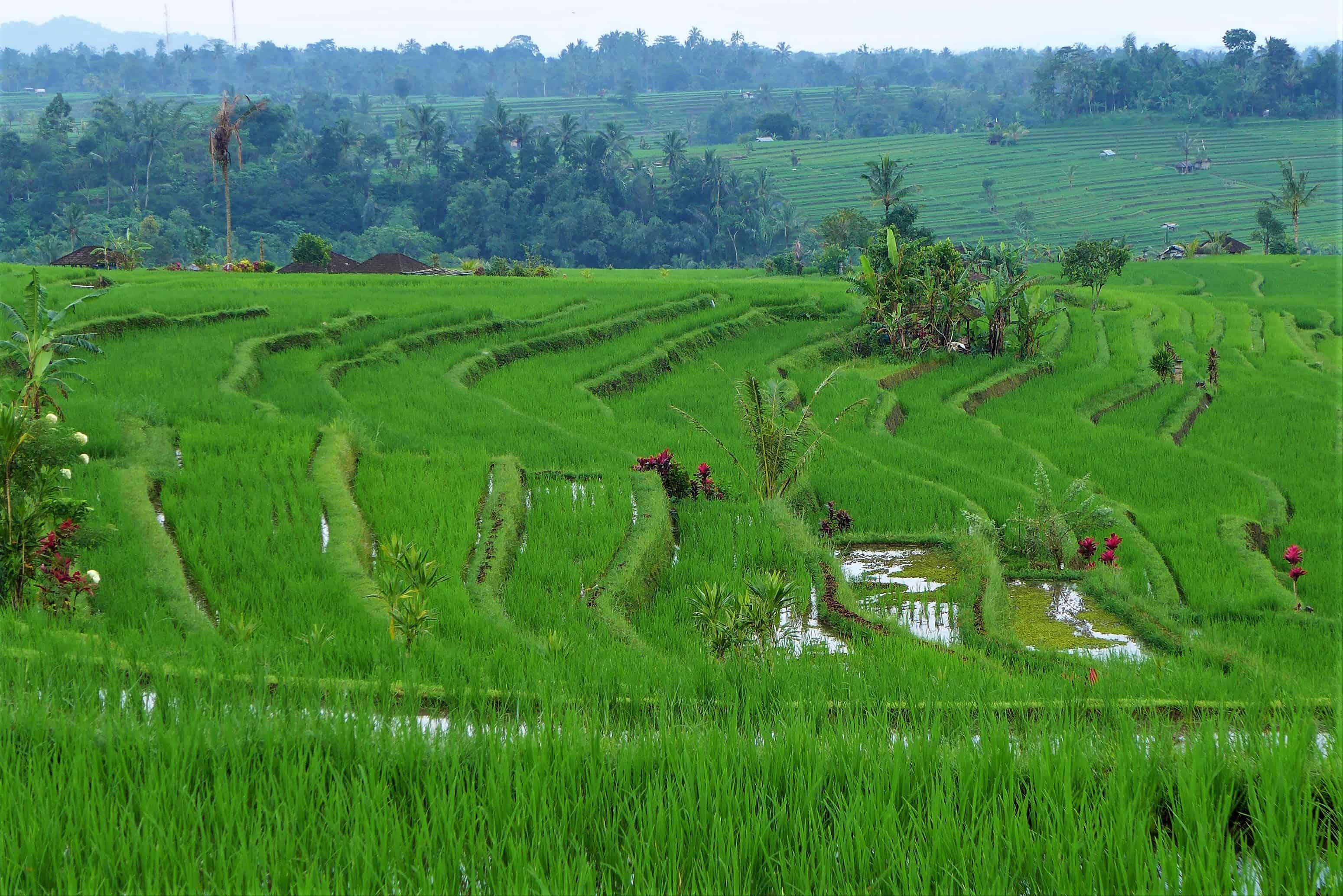 Zwiedzanie Bali: Jatiluwih