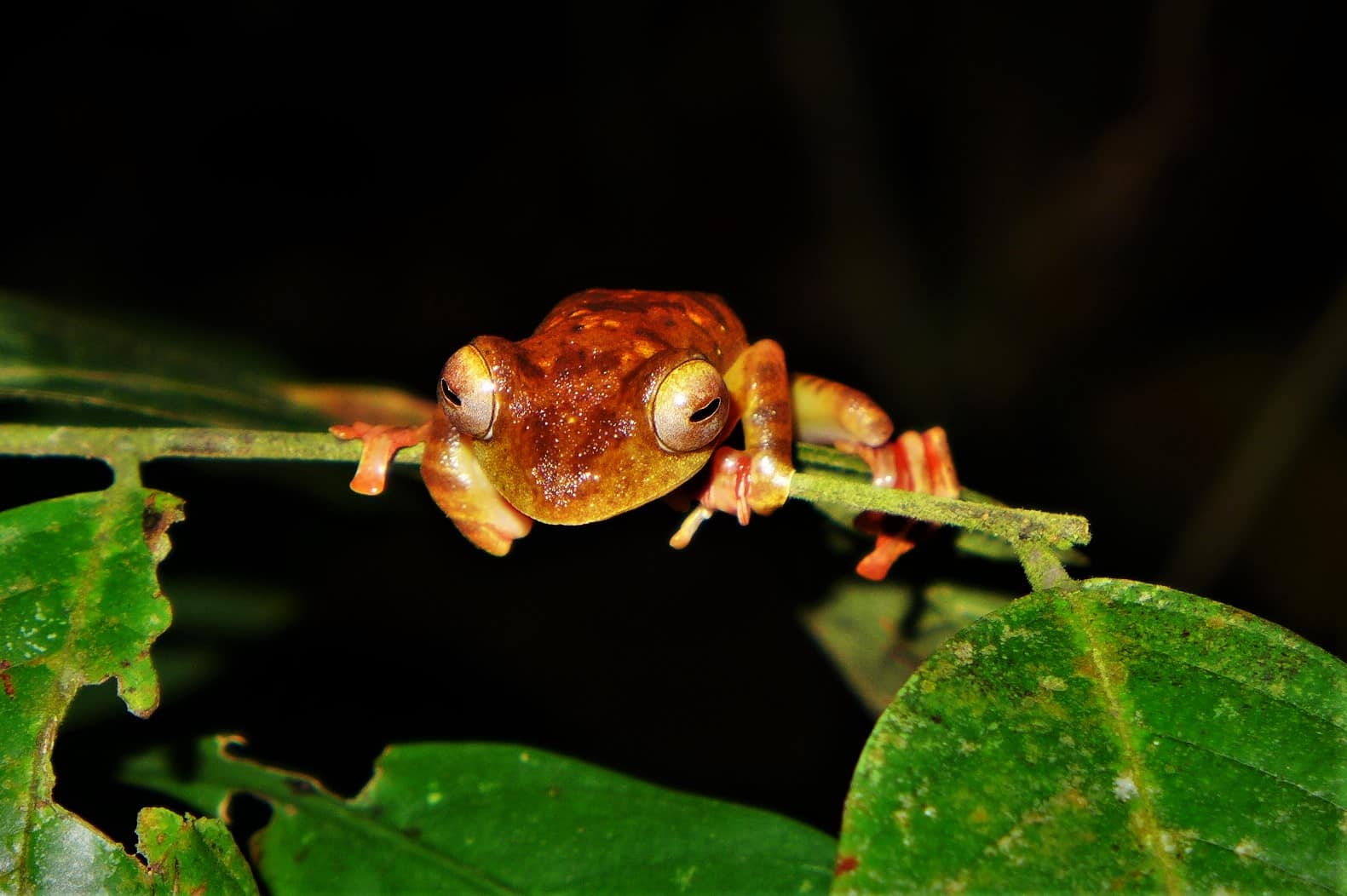Kubah National Park, frogs