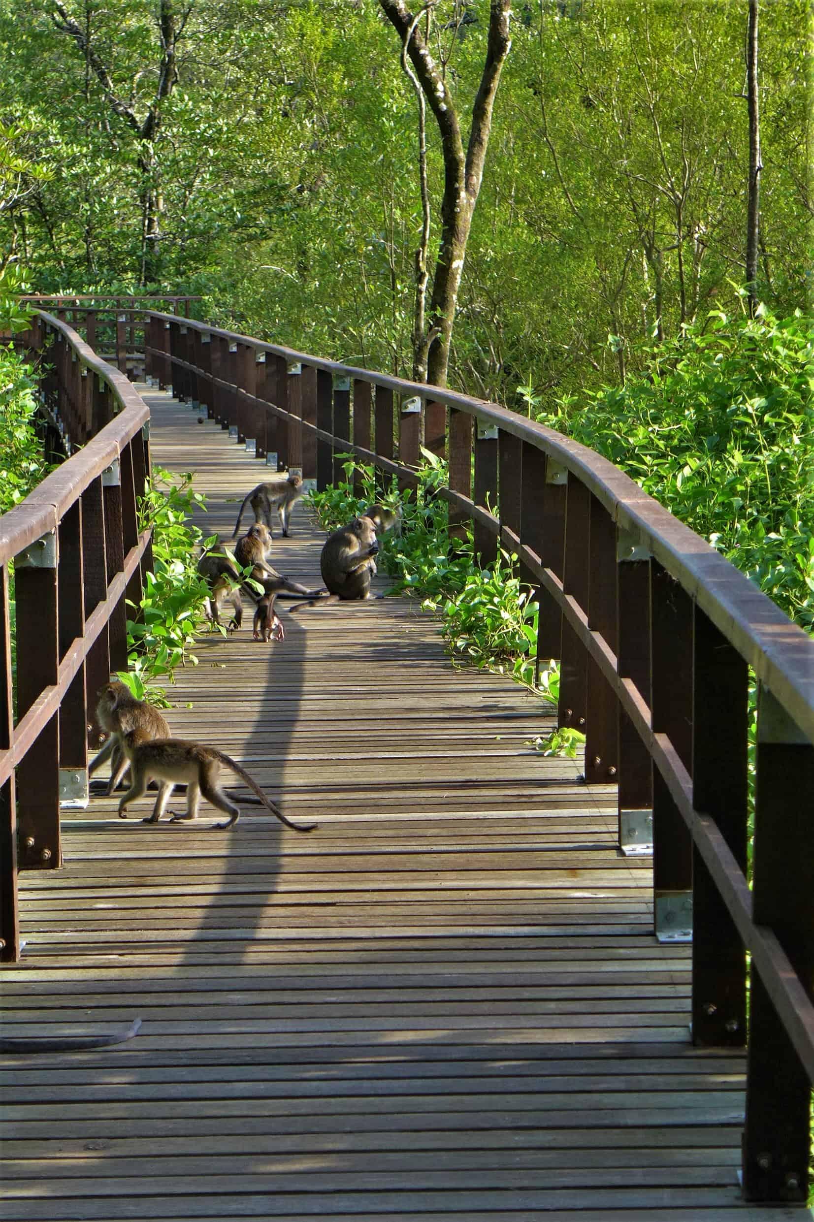 makaki, Bako, Borneo
