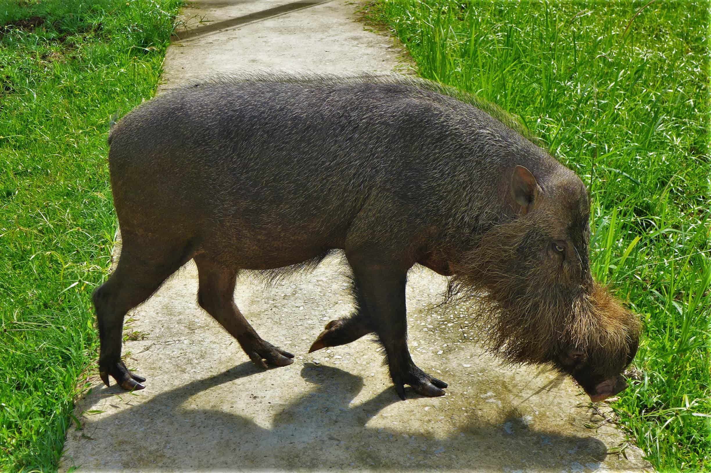 brodata świnia, Borneo, Bako National Park
