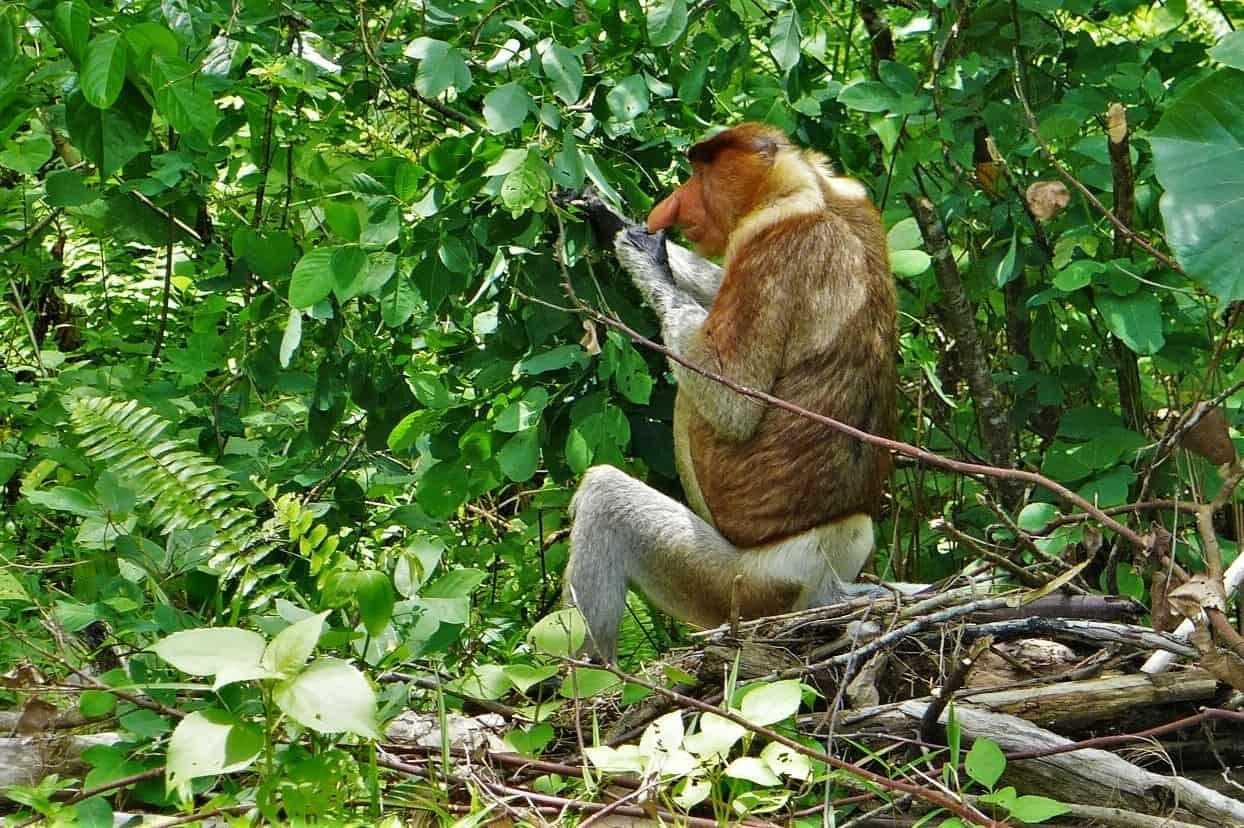 nosacz sundajski, nosacze, Borneo