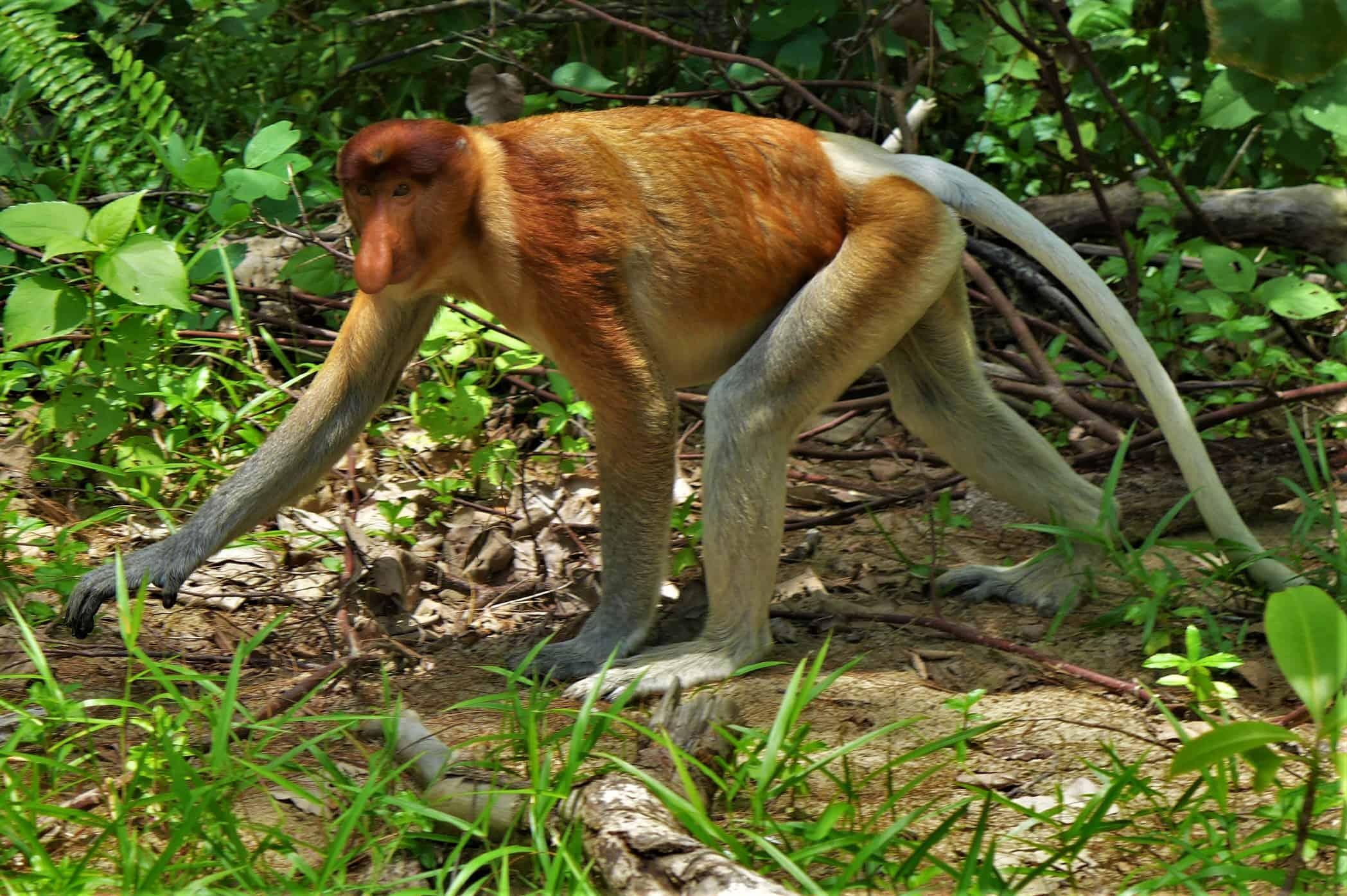 nosacz, nosacz sundajski, Bako National Park