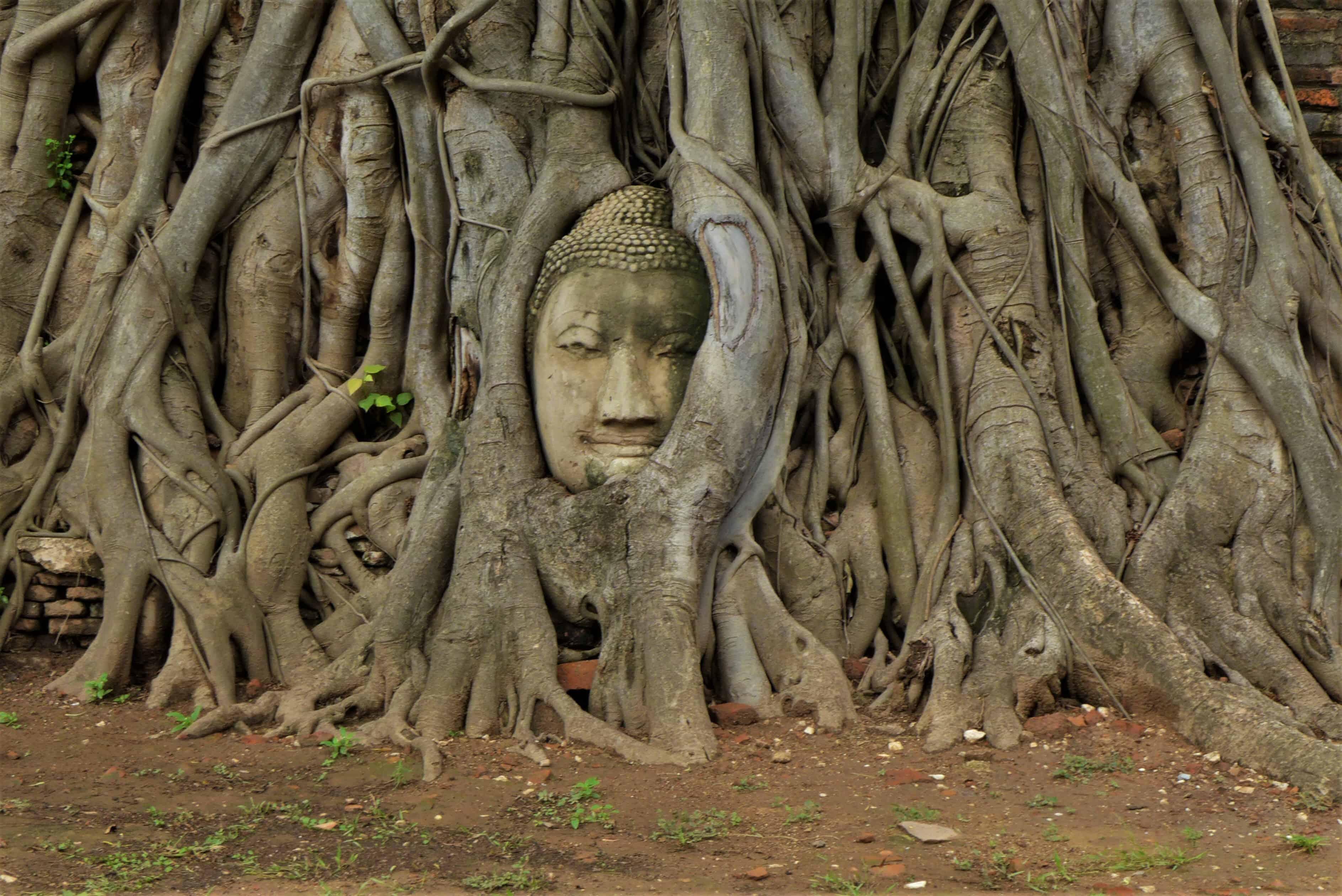 głowa Buddy, Ayutthaya