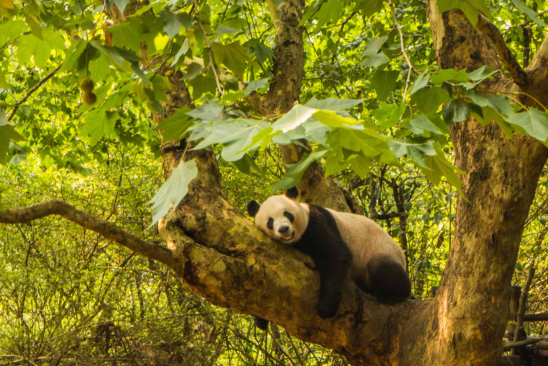 Pandy z Chengdu