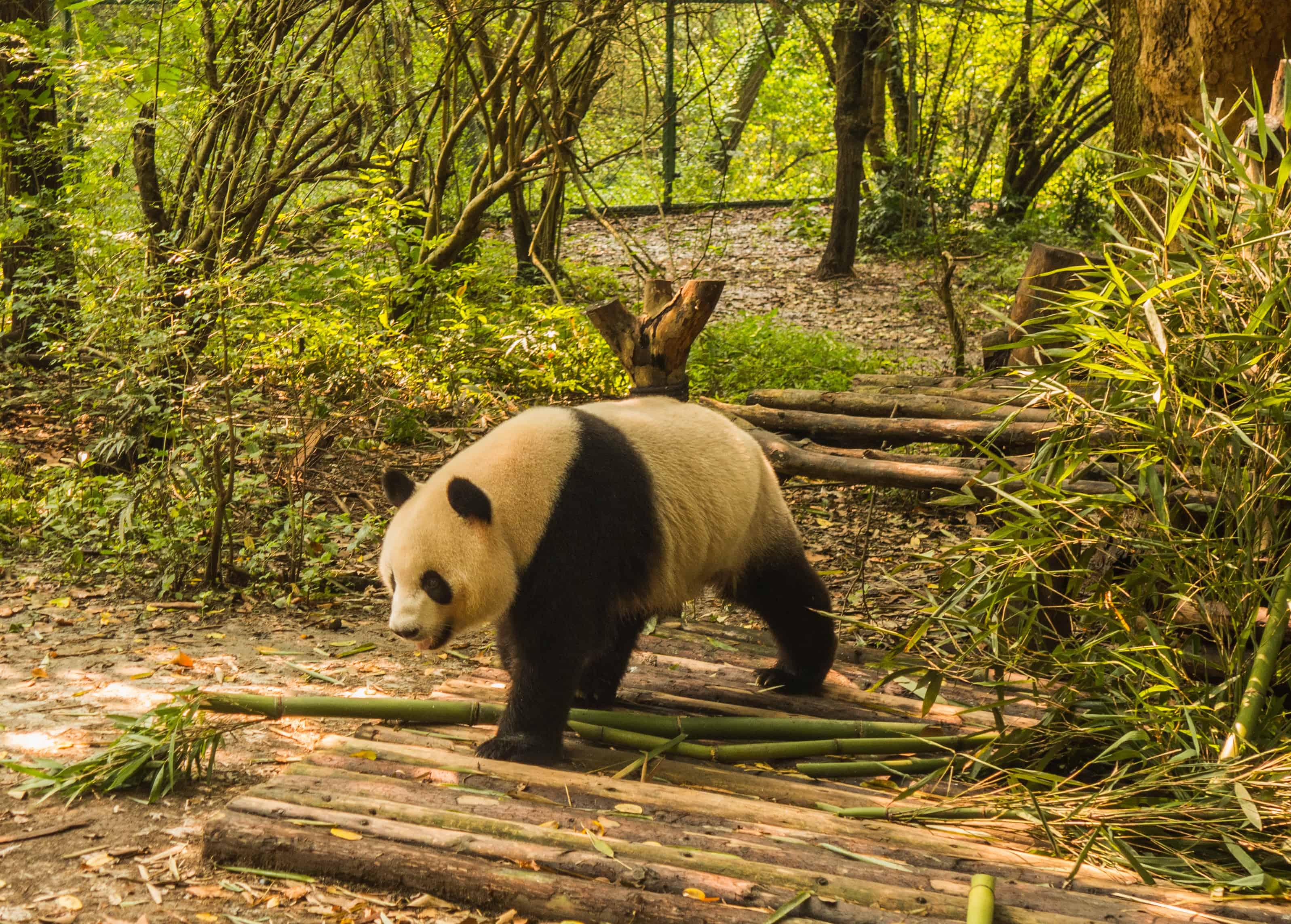 pandy w chengdu