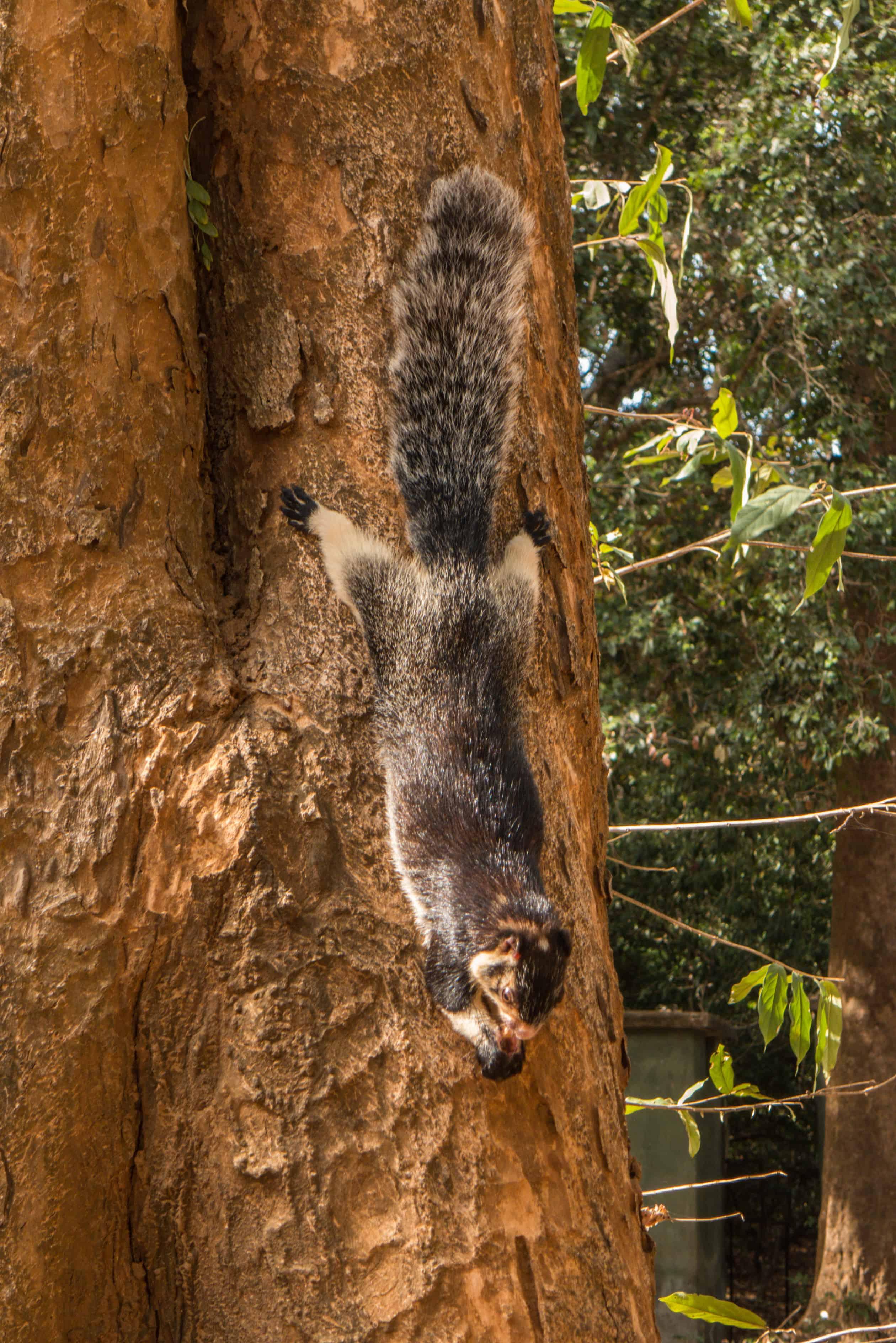 gigantyczna wiewiórka; Sri Lanka; udawalawe