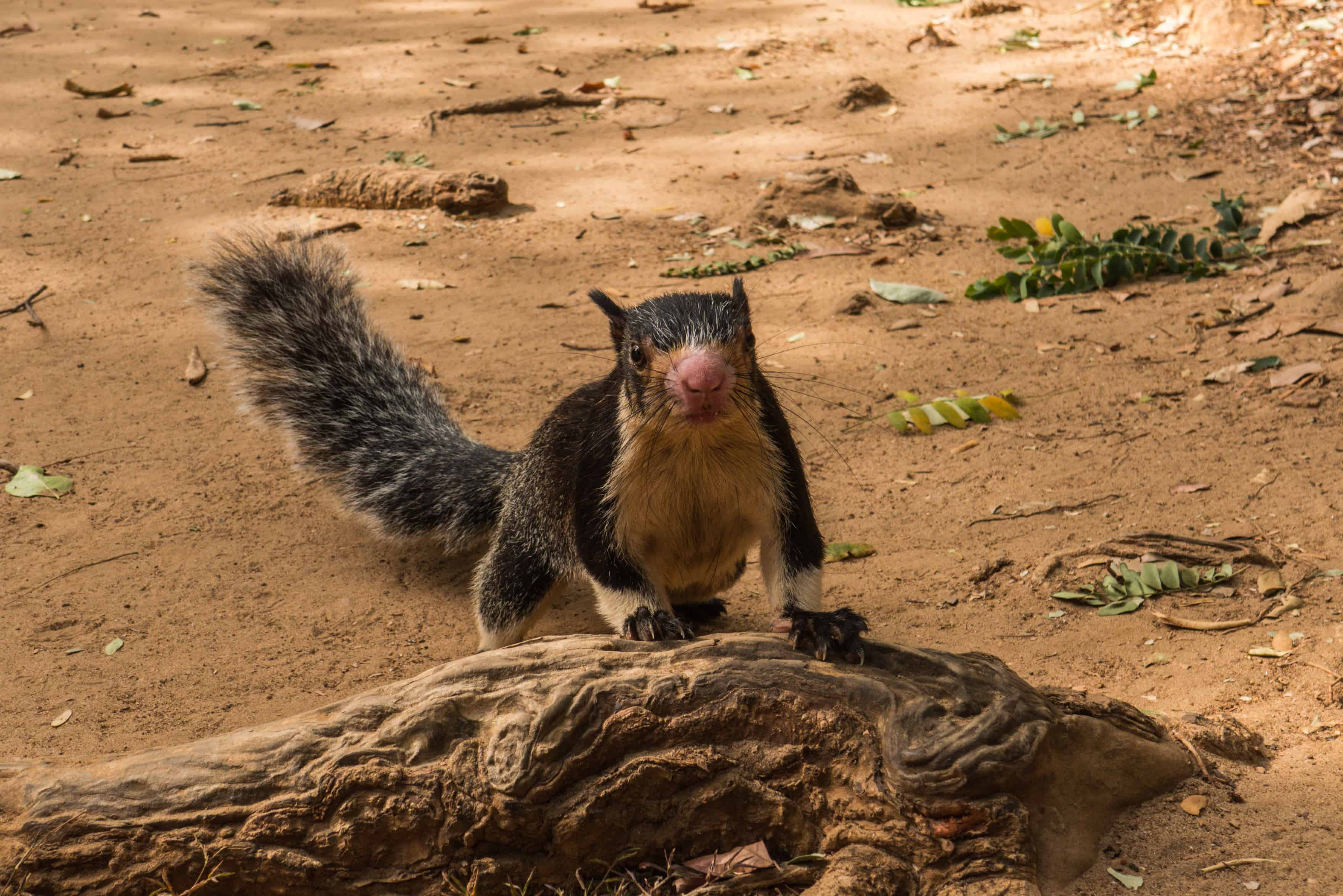 grizzled giant squirrel; udawalawe