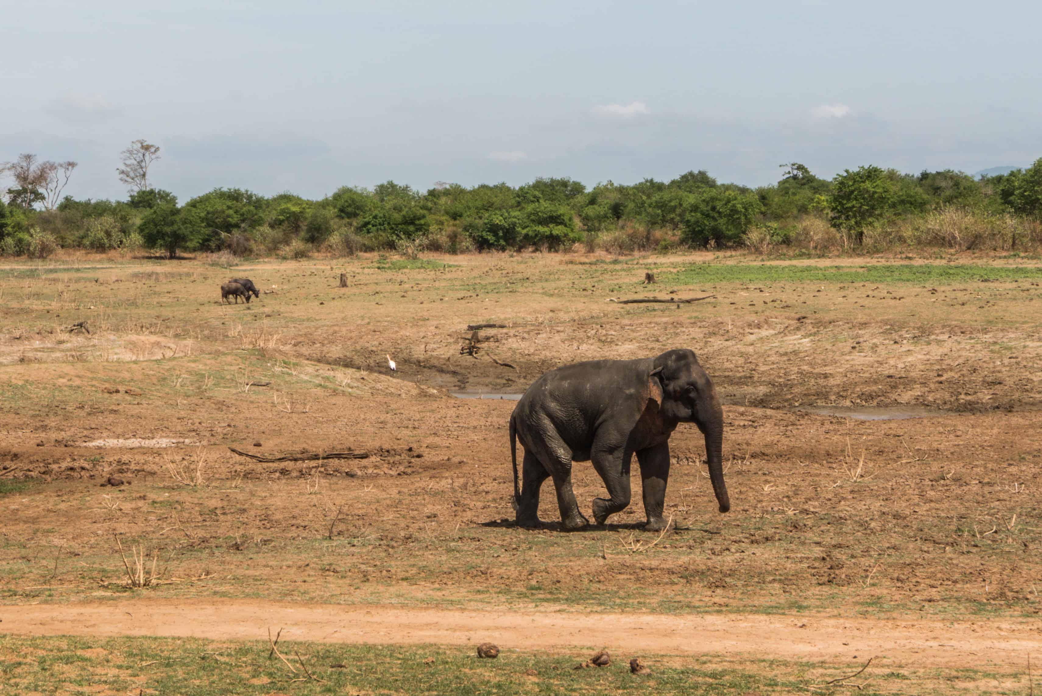 Udawalawe safari; słonie na Sri Lance