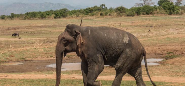 Udawalawe safari; słonie