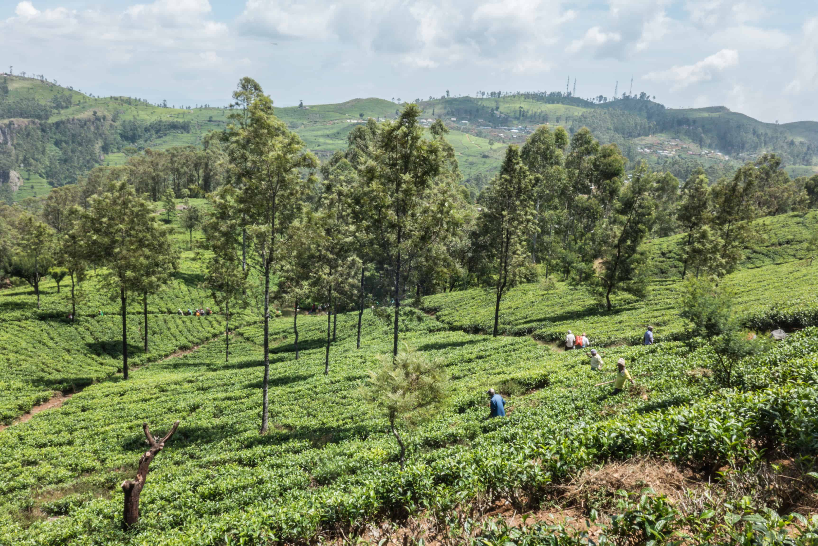 Sri Lanka; Lipton's seat; tea plantation