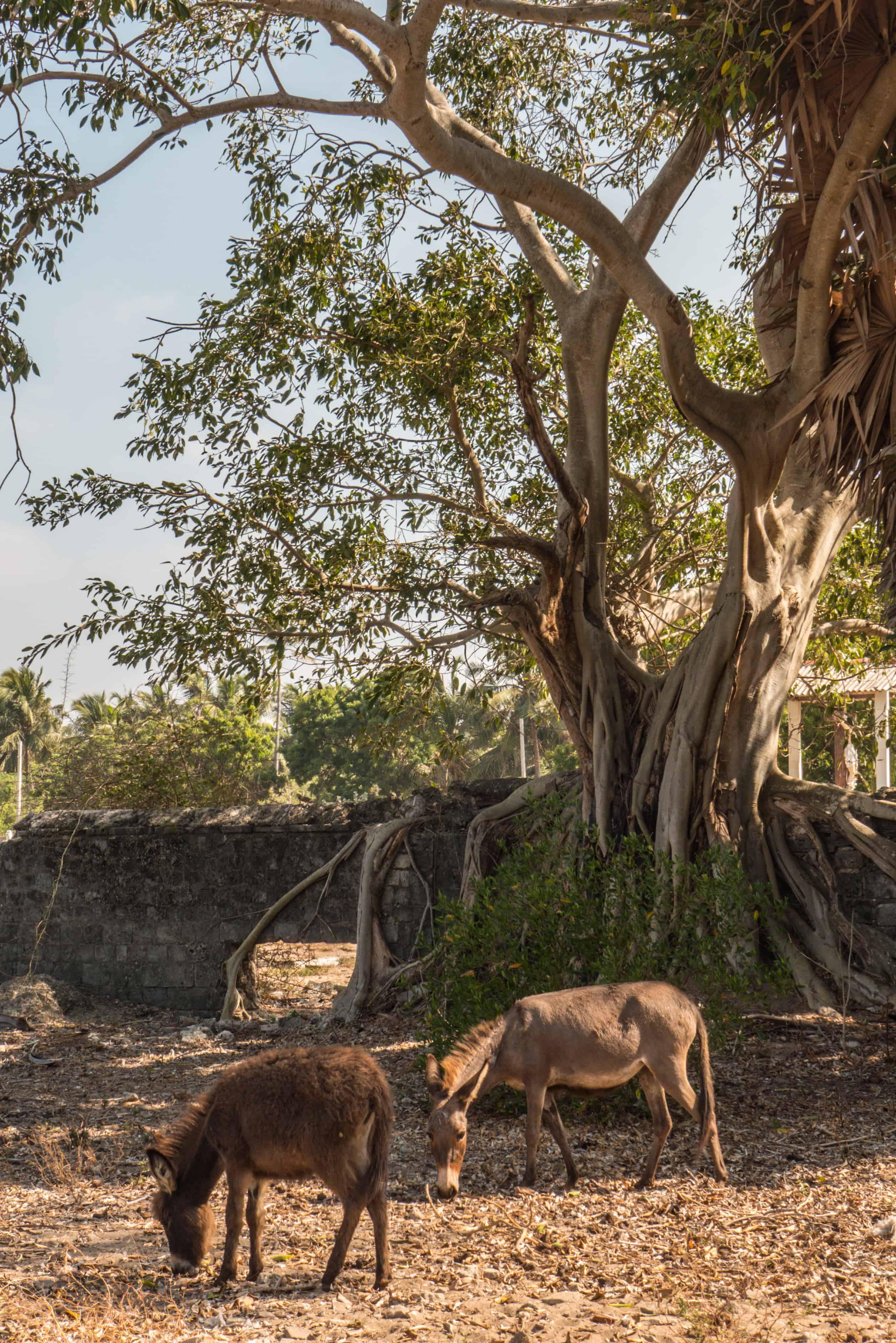 Osły z Mannaru