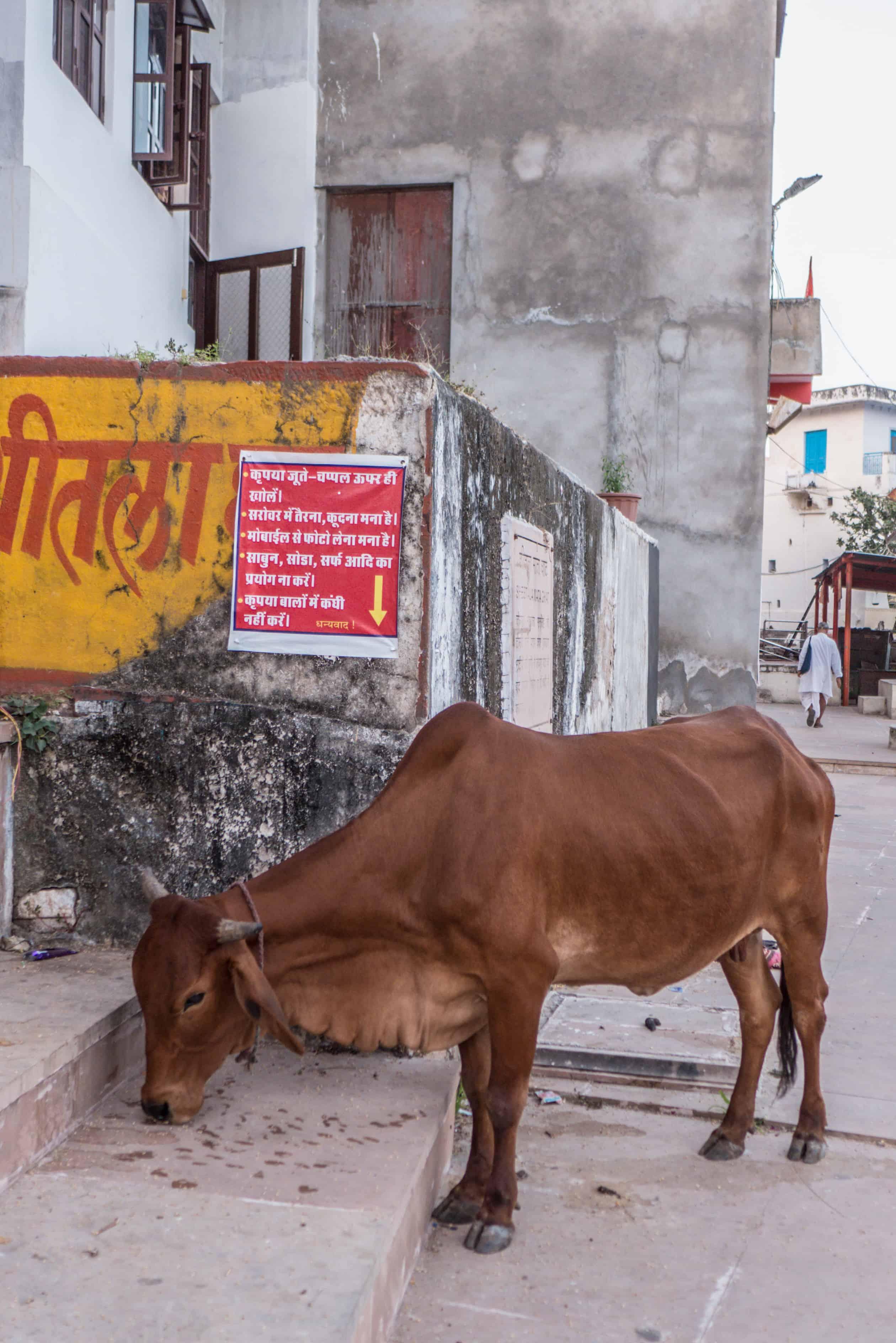 święta krowa Indie